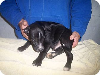 Labrador Retriever/Shepherd (Unknown Type) Mix Puppy for adoption in Germantown, Maryland - Turk