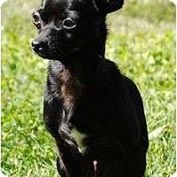Adopt A Pet :: Schoshe - Allentown, PA