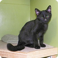 Adopt A Pet :: Midnight - Dover, OH