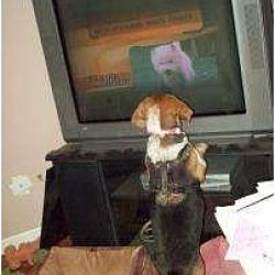 Photo 4 - Beagle Mix Dog for adoption in Phoenix, Arizona - Amy Lynn