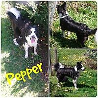Adopt A Pet :: Pepper - Garden City, MI