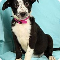 Adopt A Pet :: Nikki BC - St. Louis, MO