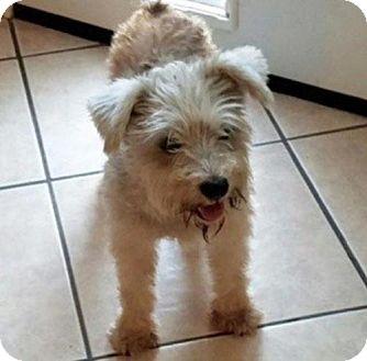 Standard Schnauzer Mix Dog for adoption in Spring, Texas - Bitsy