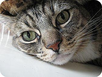 Domestic Shorthair Cat for adoption in Brea, California - GUPPY