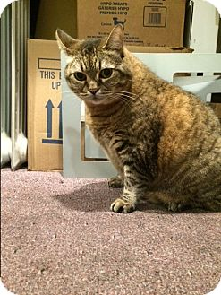 Domestic Shorthair Cat for adoption in Sherman Oaks, California - Melon