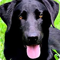 Adopt A Pet :: MISS CHARM(ADORABLE PB LAB PUP - Wakefield, RI