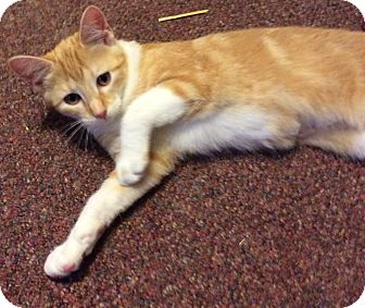 Domestic Shorthair Kitten for adoption in Mt Pleasant, Pennsylvania - Mango