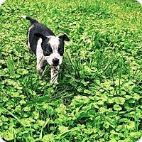 Cattle Dog Puppy for adoption in Edina, Minnesota - Baxter D161378: PENDING ADOPTION