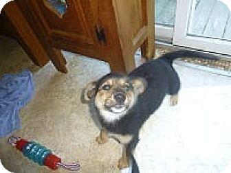 German Shepherd Dog/Labrador Retriever Mix Puppy for adoption in Glastonbury, Connecticut - Cevia