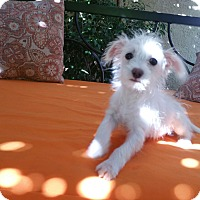 Poodle (Miniature)/Terrier (Unknown Type, Small) Mix Puppy for adoption in La Verne, California - Tadpole