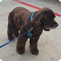 Cocker Spaniel Dog for adoption in Austin, Texas - Buster