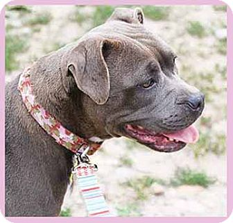 American Staffordshire Terrier/American Pit Bull Terrier Mix Dog for adoption in South Bend, Indiana - Bella Rose