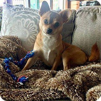 Corgi/Chihuahua Mix Dog for adoption in Woodstock, Georgia - Rosie