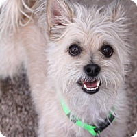 Cairn Terrier Mix Dog for adoption in Phoenix, Arizona - Ed
