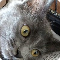 Domestic Mediumhair Kitten for adoption in Yuba City, California - Martina