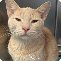 Adopt A Pet :: Tiger - Jackson, NJ