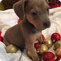 Adopt A Pet :: Vixen - Barnhart, MO
