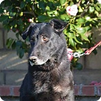 Adopt A Pet :: Rambo - Mira Loma, CA