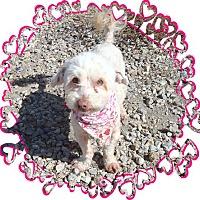 Adopt A Pet :: Dennis - Las Vegas, NV