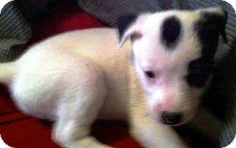 Cattle Dog/Dalmatian Mix Puppy for adoption in Vista, California - Oreo