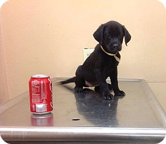 Labrador Retriever Mix Puppy for adoption in Brooklyn, New York - Apollo