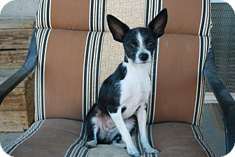 Chihuahua Dog for adoption in California City, California - Nellie