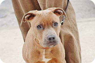 American Pit Bull Terrier Mix Puppy for adoption in Reisterstown, Maryland - Edge