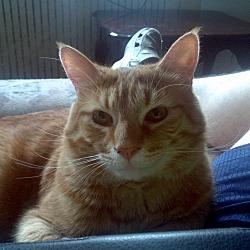 Photo 3 - Domestic Shorthair Kitten for adoption in Saint Albans, West Virginia - Morris