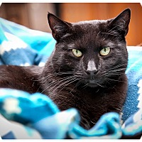 Bombay Cat for adoption in Middletown, New York - Queen