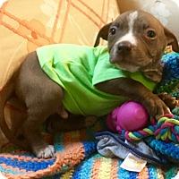 Adopt A Pet :: New York Jets - Phoenix, AZ