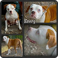 American Bulldog Mix Dog for adoption in Miami, Florida - Envy