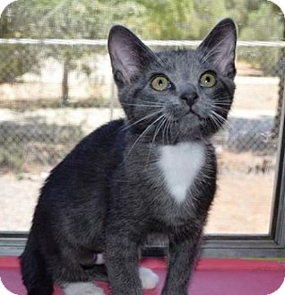 Domestic Shorthair Kitten for adoption in Riverside, California - Misty