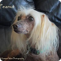Adopt A Pet :: Peanut (ID) - Kingston, NY