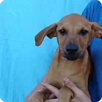 Adopt A Pet :: Tommy - Oviedo, FL