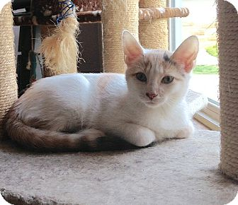 Calico Kitten for adoption in Cleveland, Ohio - Honey