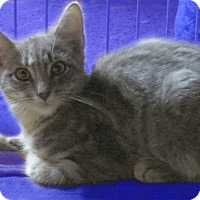 American Shorthair Kitten for adoption in Rochester, New York - Taddy