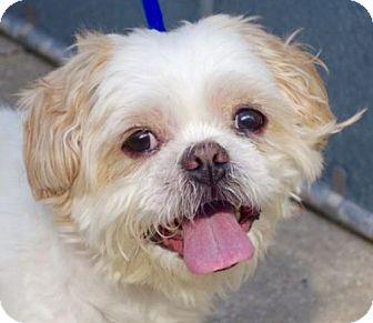 Shih Tzu Mix Dog for adoption in Manhattan, New York - Louie