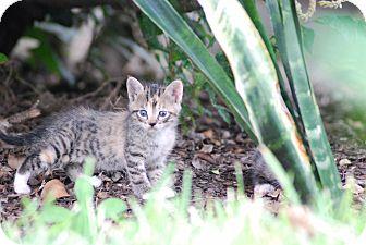 Domestic Shorthair Kitten for adoption in Houston, Texas - Lilly