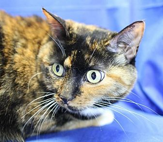 Domestic Shorthair Cat for adoption in Winston-Salem, North Carolina - Mocha