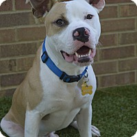 American Pit Bull Terrier Mix Dog for adoption in Germantown, Tennessee - Mickey