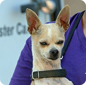 Chihuahua Mix Dog for adoption in Palmdale, California - Bella