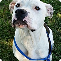 Pit Bull Terrier Dog for adoption in Tremont, Illinois - Petunia