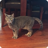 Domestic Shorthair Cat for adoption in Acushnet, Massachusetts - Auron