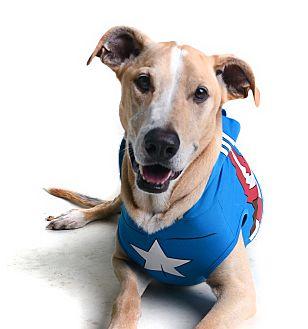 Shepherd (Unknown Type)/Greyhound Mix Dog for adoption in Wilmington, Delaware - Bo