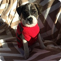 Terrier (Unknown Type, Medium)/Australian Shepherd Mix Puppy for adoption in Ellaville, Georgia - Gritty