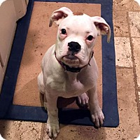 Adopt A Pet :: Royce (applications under review) - Akron, OH