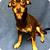 Adopt A Pet :: Goose - Watauga, TX