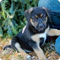 Adopt A Pet :: PUPPY NEPTUNE - Washington, DC