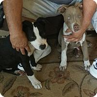 Adopt A Pet :: Frankie - Alhambra, CA
