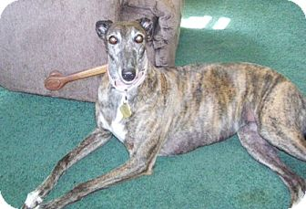 Greyhound Dog for adoption in Fremont, Ohio - Star